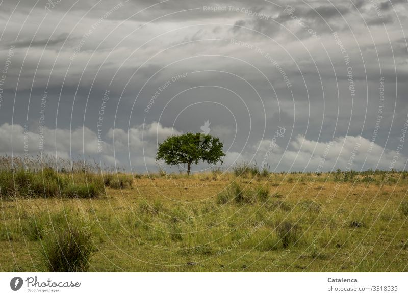 Baum auf der Weide Natur Landschaft Pflanze Gewitterwolken Sommer schlechtes Wetter Gras Sträucher Wiese Pampa Steppe Grasland Wachstum authentisch schön braun