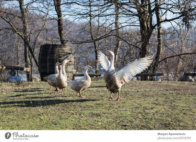 Gruppe von Gänsen auf einem Bauernhof Umwelt Nutztier Vogel Tiergruppe fliegen Gans Außenaufnahme Landleben Eigenanbau Hinterhof Gras rustikal ländlich Farbfoto