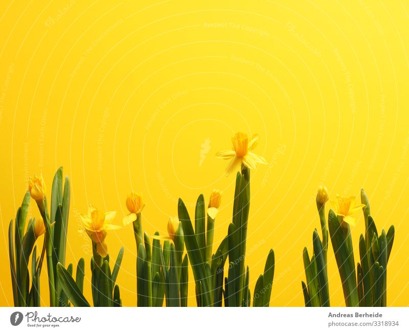 Beautiful daffodils against a yellow background Leben Winter Valentinstag Ostern Natur Pflanze Frühling Blume Beginn Fortschritt schön Wachstum many row easter