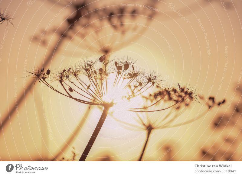 verblühte Wilde Möhre im Gegenlicht der tiefstehenden Sonne Natur Pflanze Wolkenloser Himmel Sonnenaufgang Sonnenuntergang Sonnenlicht Herbst Schönes Wetter