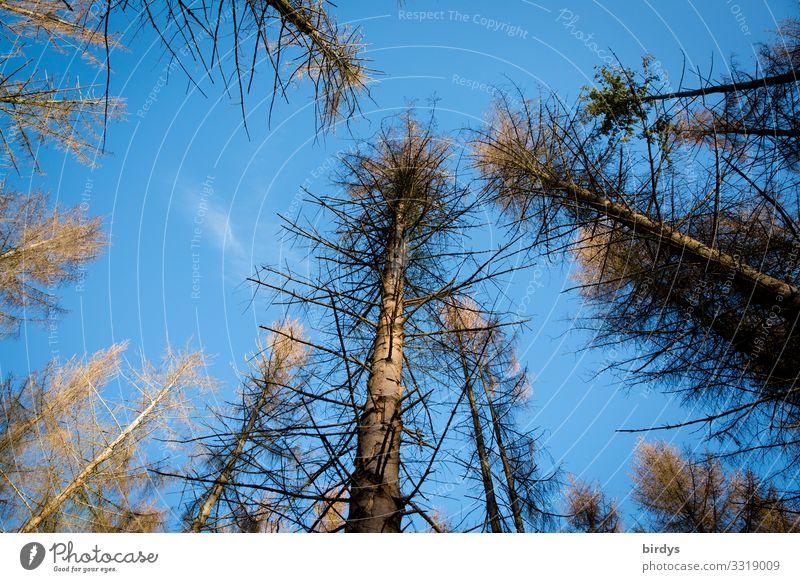 Baumsterben Klimawandel Natur Wolkenloser Himmel Schönes Wetter Fichtenwald Wald Deutschland dehydrieren authentisch natürlich trocken blau braun Sorge