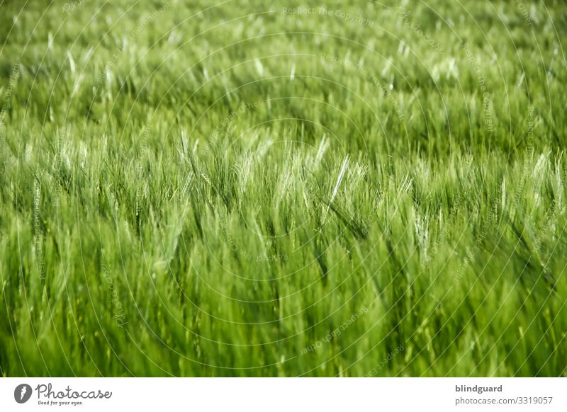 Bier in spe. Gerste auf einem Feld in freudiger Erwartung Gersten-Hopfen-Brause zu werden. Brot Nahrungsmittel Getreide Landwirtschaft Korn Ähren Pflanze Natur
