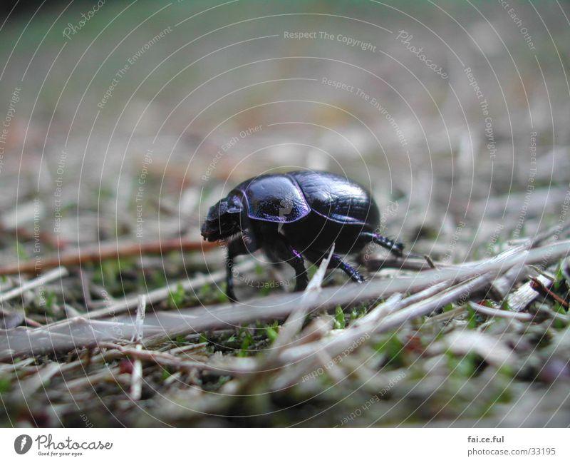 Waldkäfer Bodenbelag Käfer Insekt