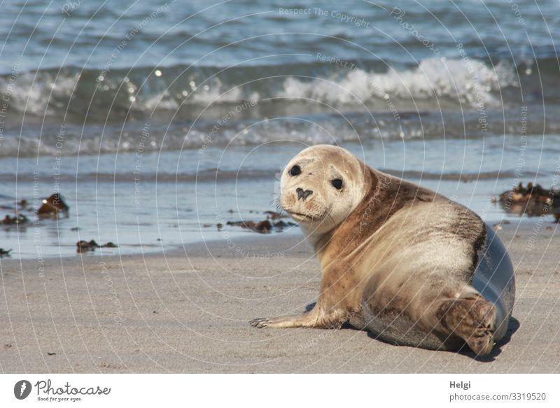Seehund liegt am Strand der Düne von Helgoland Umwelt Natur Landschaft Tier Wasser Sommer Schönes Wetter Wellen Küste Nordsee Insel Wildtier Robben 1 beobachten