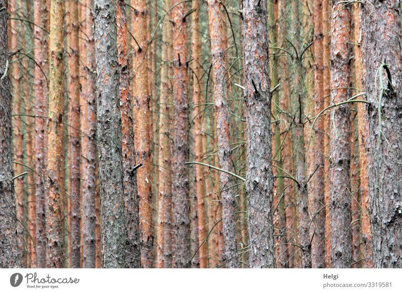 viele Baumstämme von Fichten stehen nebeineinander und hintereinander Umwelt Natur Pflanze Baumstamm Kiefer Zweig Wald alt Wachstum authentisch außergewöhnlich