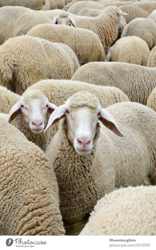 Schafe Freizeit & Hobby Arbeit & Erwerbstätigkeit Landwirtschaft Forstwirtschaft Umwelt Natur Landschaft Tier Sommer Klima Klimawandel Wiese Berge u. Gebirge
