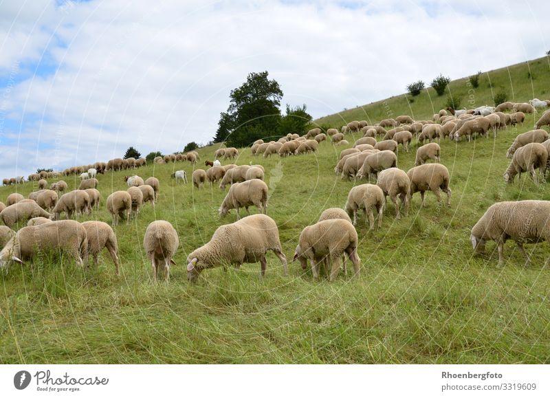 Schafherde Sommer Sommerurlaub Sonne Berge u. Gebirge wandern Landwirtschaft Forstwirtschaft Umwelt Natur Landschaft Pflanze Tier Erde Klima Klimawandel Wetter