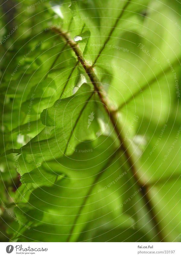 Blattgrün Pflanze Zimmerpflanze Frühling Blattadern Natur Detailaufnahme