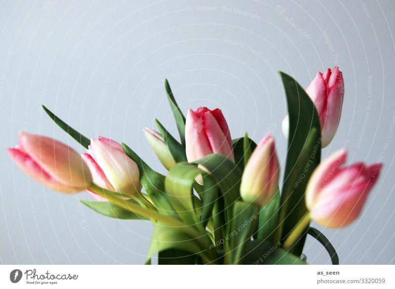 Frische Tulpen Natur Pflanze Farbe grün Lifestyle Frühling natürlich Gefühle grau rosa Design Dekoration & Verzierung leuchten frisch ästhetisch Lebensfreude