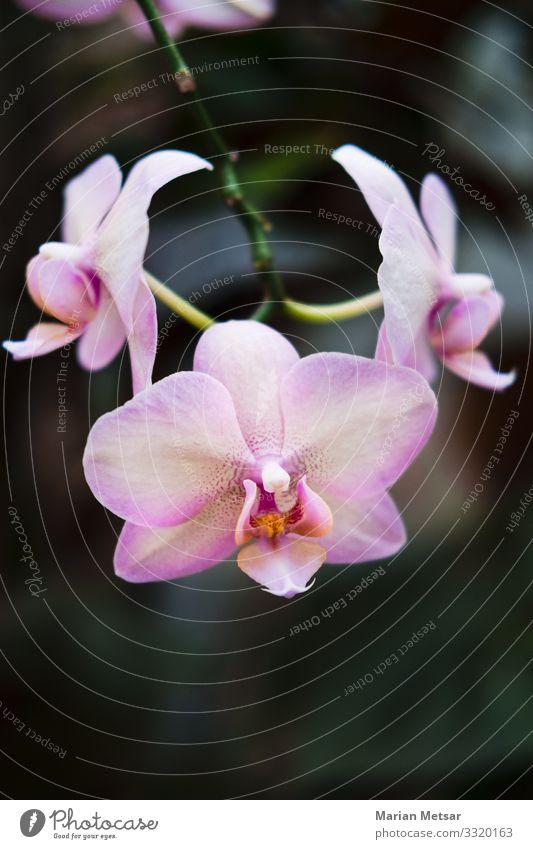Rosa Orchidee - Phalaenopsis Blume Natur Pflanze Blatt Blüte Grünpflanze Wildpflanze Topfpflanze exotisch Garten einfach elegant schön Sauberkeit feminin