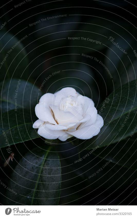 Weiße Rose Pflanze Blume Sträucher Blatt Blüte Grünpflanze Wildpflanze Topfpflanze exotisch Garten Blühend ästhetisch elegant schön Sauberkeit feminin wild grün