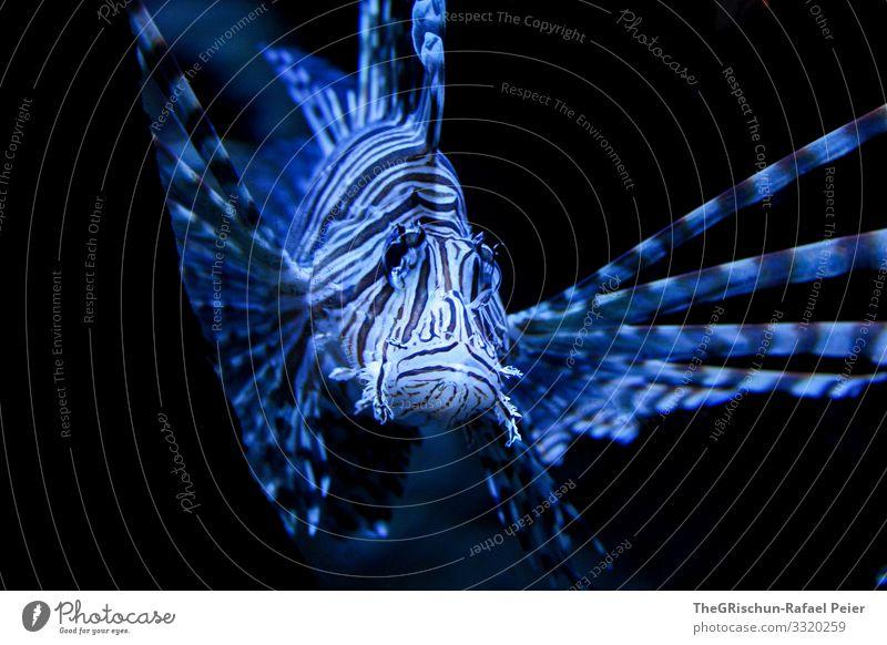 Fisch Tier 1 blau schwarz Schwimmsport Lebewesen Aggression Strukturen & Formen ästhetisch Auge Aquarium Farbfoto Innenaufnahme Menschenleer Textfreiraum oben