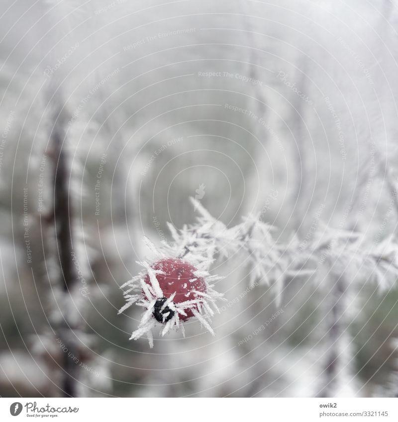 Vereist Umwelt Natur Pflanze Winter Schönes Wetter Eis Frost Sträucher Hagebutten Hundsrose kalt klein Spitze stachelig Eiskristall Farbfoto Gedeckte Farben