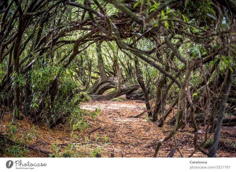 Weg durch dichte Vegetation Natur Pflanze Gestrüpp Stämme Äste Blatt Büsche Urwald Wald Endemische Vegetation Erde Tag Tageslicht Umwelt Flora Grün Braun
