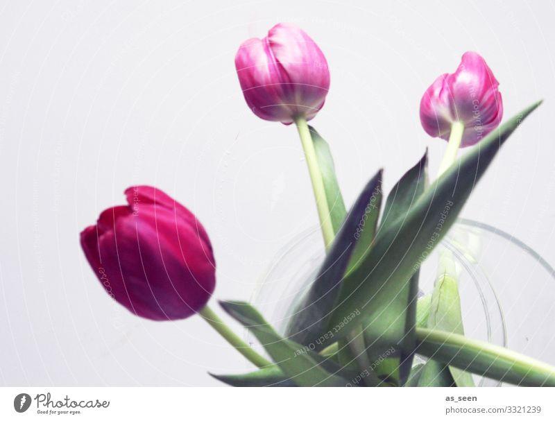 Drei Tulpen in der Vase Natur Sommer Pflanze Farbe grün Blume Blatt Lifestyle Innenarchitektur Frühling natürlich grau rosa Design Dekoration & Verzierung