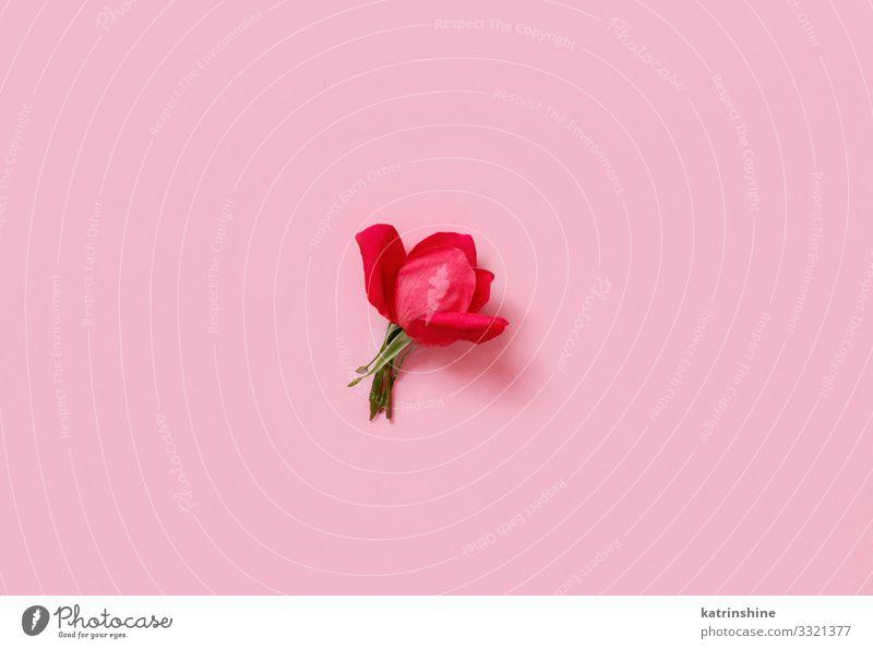 Rote Rose auf einem hellrosa Hintergrund Design Dekoration & Verzierung Hochzeit Frau Erwachsene Mutter Blume oben rot Kreativität romantisch Pastell Fuchsie
