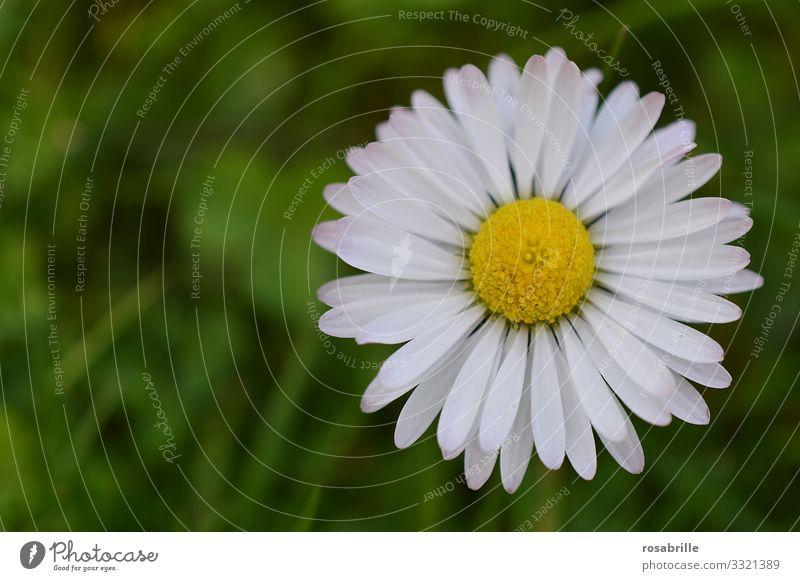 Gänseblümchen | Symmetrie Blume Wiese Blümchen Gänseblume Blütenblatt Blütenblätter blühen Sommer Frühling Frühlingsgefühle draußen Natur natürlich schön hübsch