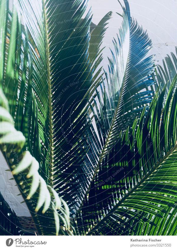 Palme Palmenwedel Natur Tier Frühling Sommer Herbst Winter Klima Schönes Wetter Pflanze Blatt Grünpflanze exotisch Wachstum groß grün Palmendach Farbfoto