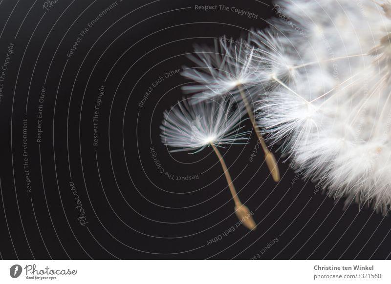 Schirmchen einer Pusteblume Pflanze Blume Blüte Wildpflanze Löwenzahn fliegen ästhetisch außergewöhnlich Freundlichkeit Fröhlichkeit hell schön klein nah
