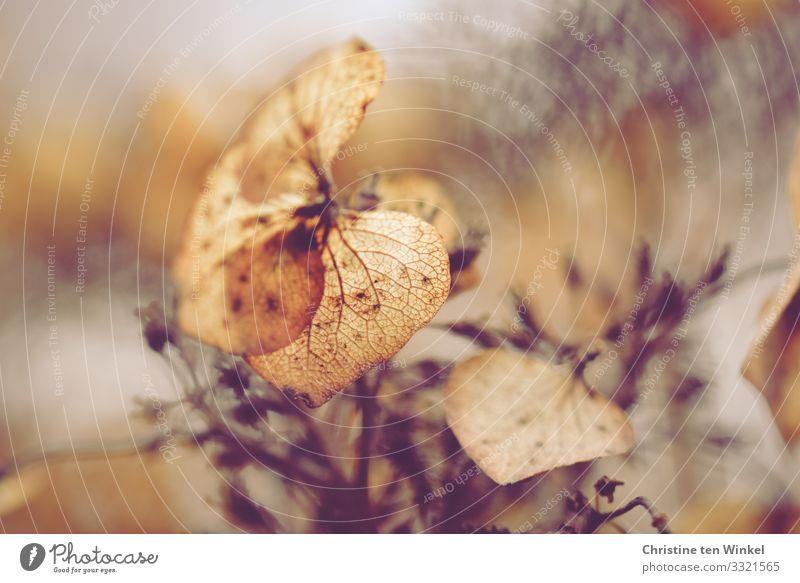 vertrocknete Hortensienblüte Natur Pflanze Sträucher Blüte Tellerhortensie Zierpflanze ästhetisch außergewöhnlich glänzend schön nah natürlich Wärme braun gold