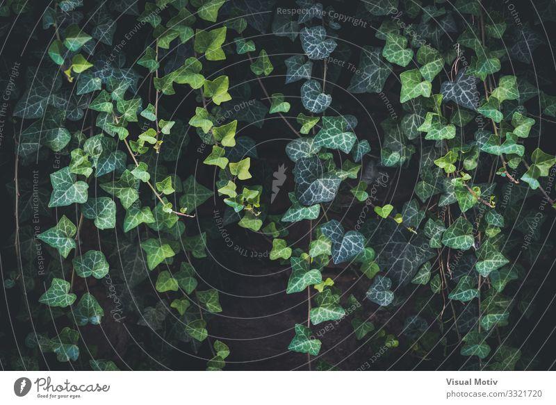 Kletternde Efeuranke Natur Pflanze Blatt Grünpflanze Wildpflanze Garten Park beobachten Blick ästhetisch authentisch dunkel schön einzigartig natürlich Neugier