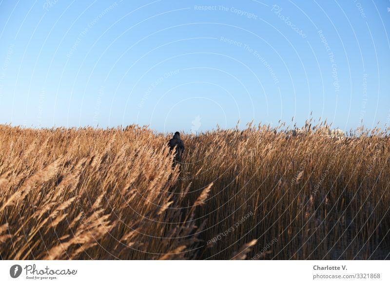 Der einsame Wanderer bahnt sich an diesem strahlenden Sonnentag seinen Weg durch das endlose Meer aus Schilfgras. Mensch maskulin 1 Umwelt Natur Landschaft