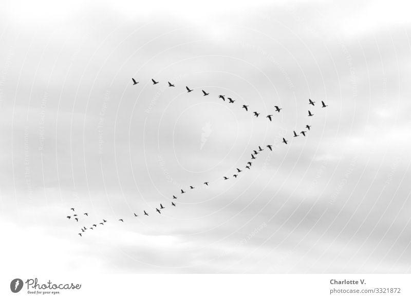 Die Gänse haben sich bei bedecktem Himmel auf den Weg Richtung Süden gemacht. Noch hat die Reisegruppe ihre perfekte V-Formation auf diesem Schwarz-Weiß-Foto nicht gefunden.