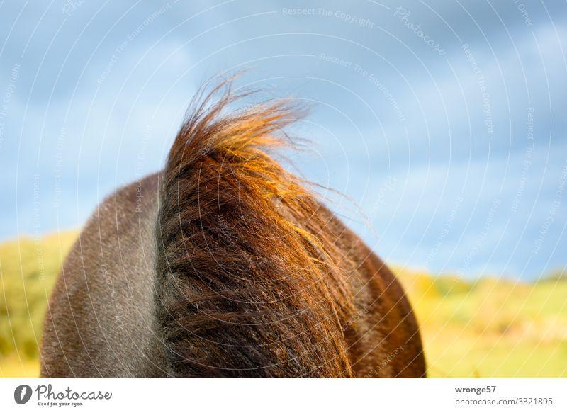 Sturmfrisur Sommer Nutztier Pferd 1 Tier blau braun gelb grün Mähne Brauner Weide Himmel Wolkenhimmel Wind Pferderücken Farbfoto mehrfarbig Außenaufnahme