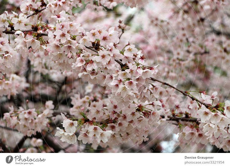 Cherry blossoms in Kyoto Japan Hanami Umwelt Natur Pflanze Klima Wetter Park Ferien & Urlaub & Reisen rosa Tradition cherry culture flower japanese Kirschblüten