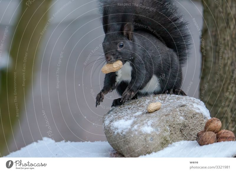 European brown squirrel in winter coatl looking for nuts Natur Tier Wildtier Eichhörnchen 1 weich animal branch branches copy space cuddly cuddly soft cute