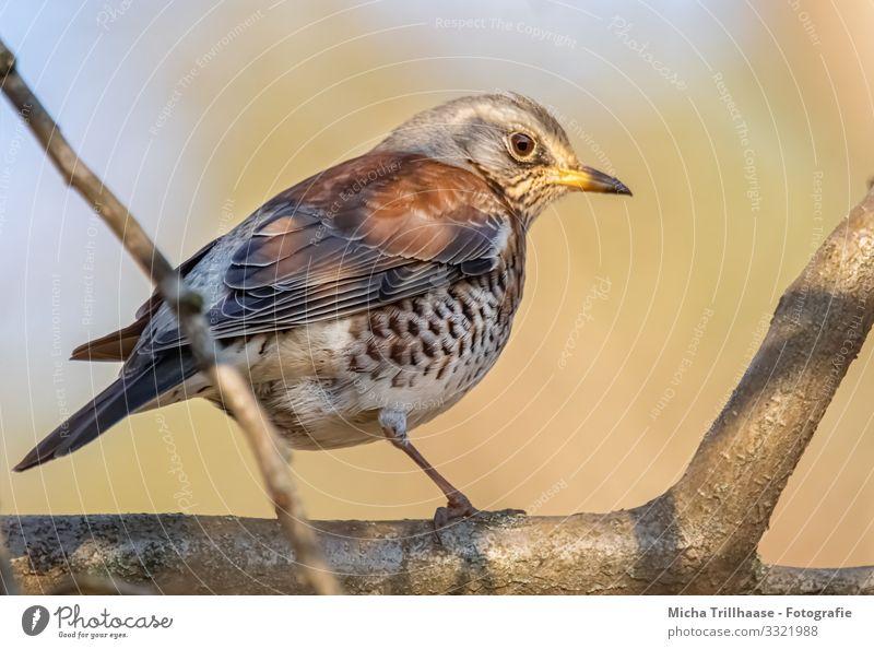 Drossel im Sonnenschein Himmel Natur blau Baum Tier schwarz gelb Auge natürlich orange Vogel braun Kopf Wildtier Feder Schönes Wetter