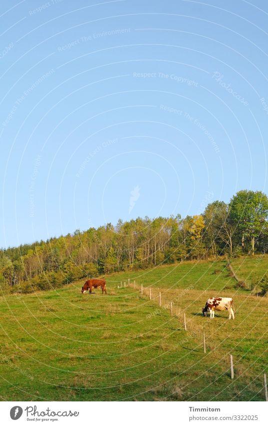 Kuhtrennung Ferien & Urlaub & Reisen Umwelt Natur Landschaft Pflanze Tier Frühling Sommer Schönes Wetter Wiese Wald Hügel Schwarzwald 2 natürlich blau grün