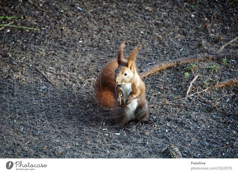Futtersuche Umwelt Natur Tier Urelemente Erde Sand Winter Wald Wildtier Tiergesicht Fell 1 frei hell klein nah natürlich weich braun weiß Eichhörnchen