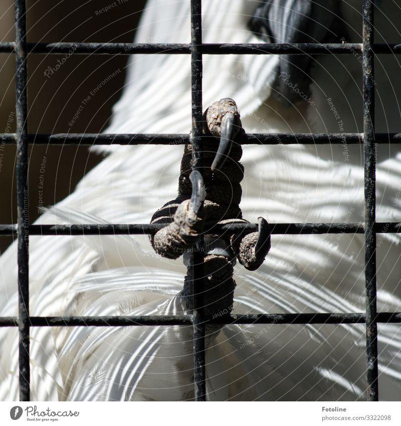 Hinter Gittern Tier Haustier Wildtier Vogel Flügel Krallen Zoo 1 natürlich schwarz weiß Kakadu Käfig Feder Schnabel gefangen Schwarzweißfoto Außenaufnahme