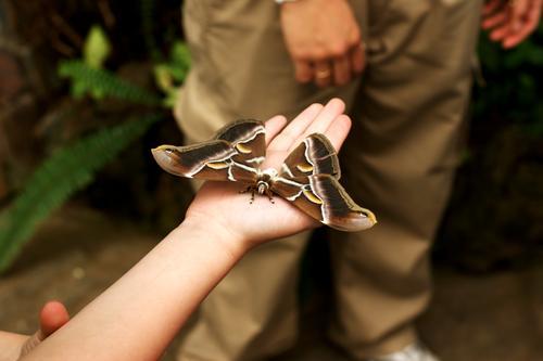Atlasspinner Mensch feminin Kind Kindheit Leben Arme Hand Finger Tier Wildtier Schmetterling Flügel 1 groß hell braun grün Insekt Farbfoto Gedeckte Farben