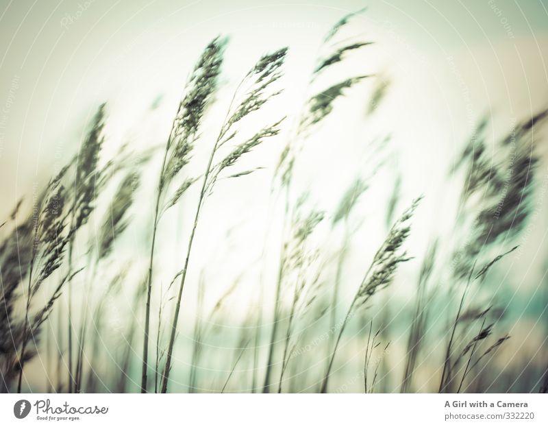 Rømø - gutes Gras Umwelt Natur Pflanze Himmel Frühling Feld Zusammenhalt wehen Gedeckte Farben Außenaufnahme Experiment abstrakt Menschenleer Abend Dämmerung
