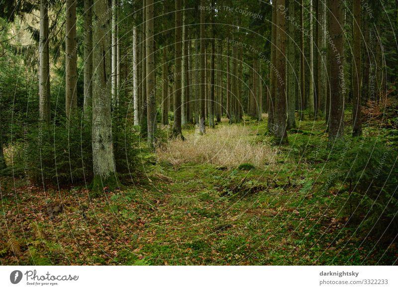 Wald Umwelt Verjüngung harmonisch wandern Landschaft Pflanze Herbst Winter Baum Blume Gras Moos Farn frisch grün Zufriedenheit ästhetisch Einsamkeit elegant