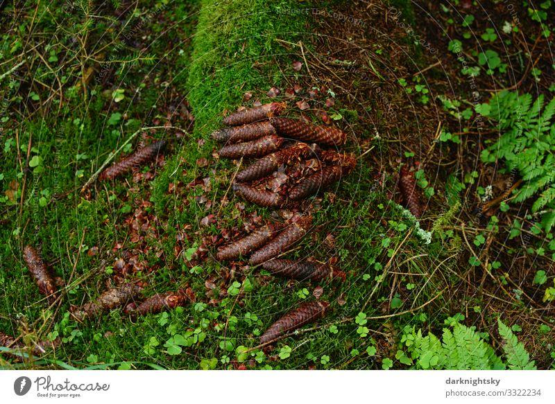 Wald Boden Tannen Zapfen wandern Umwelt Natur Landschaft Pflanze Erde Herbst Winter Regen Moos Blatt Arbeit & Erwerbstätigkeit atmen beobachten Duft alt