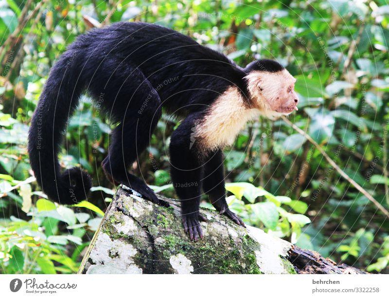 bääähhhhhhh Costa Rica Urwald Ferien & Urlaub & Reisen Natur Ausflug Abenteuer Tourismus Freiheit Ferne Tag Sonnenlicht Tier Wildtier Affen Kapuzineraffen