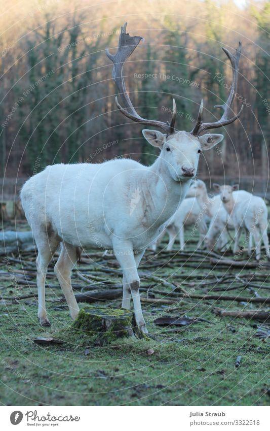 Albino Hirsch Wald Natur grün weiß Tier Winter Freiheit braun Park Wildtier stehen groß einzigartig Neugier Moos Hirsche