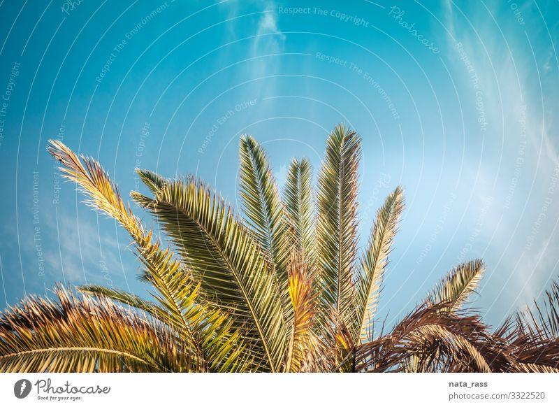 Palmenkrone wächst in Kalifornien an der Küste von Santa Monica kronenartig Landschaft tropisch Los Angeles idyllisch offen authentisch Textfreiraum getönt
