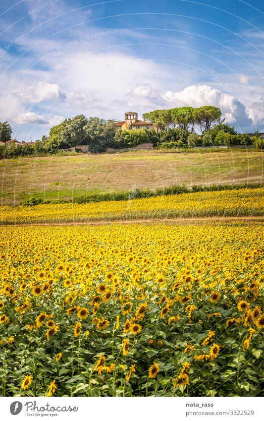 Toskanischer Hügel mit blühenden Sonnenblumen und typischem Bauernhaus Bodenbearbeitung toskanisch mediterran idyllisch Gutshaus niemand toskana Überstrahlung