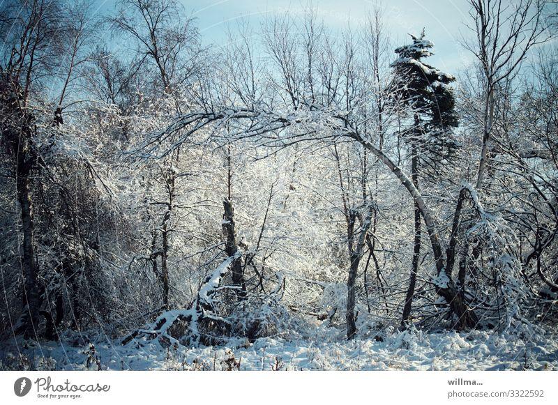 Verschneite Bäume im Winterwald Natur Landschaft Schönes Wetter Schnee Baum Wald Wildnis kalt verschneit