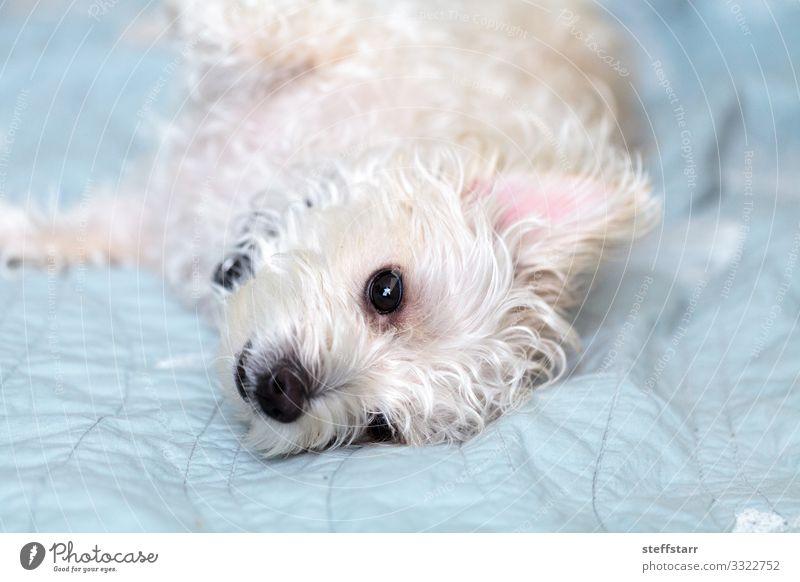 Schlummernder weißer West-Hochland-Terrier-Hund ruhig Haustier 1 Tier schlafen blau Westie Westhighland-Terrier schläfrig zotteliger Hund große Ohren