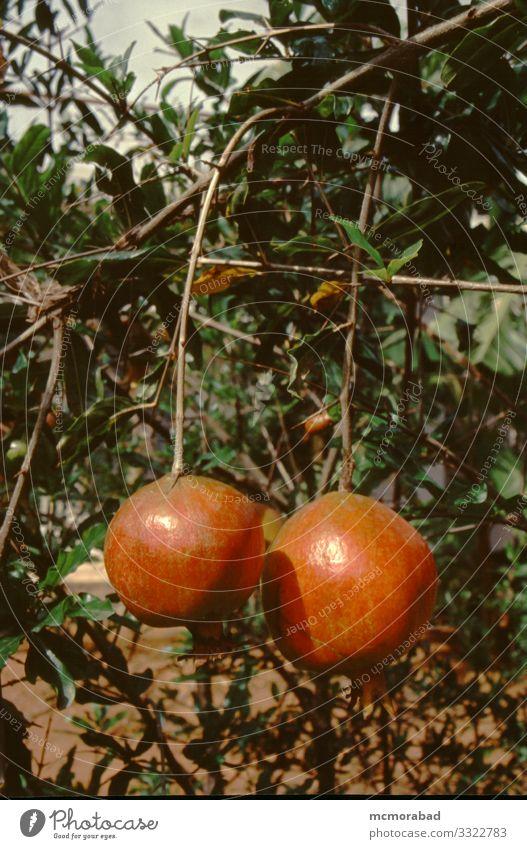 Hängende Granatapfel-Früchte Frucht Ernährung Gesunde Ernährung Wellness Pflanze Baum Sträucher Blatt alt hängen rot vertikal Buchse aussetzen baumeln erhängen