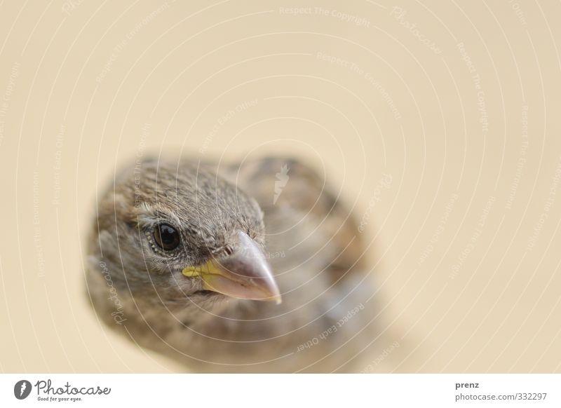 Der frühe Vogel Umwelt Natur Tier Wildtier 1 braun grau Spatz Blick Farbfoto Außenaufnahme Menschenleer Textfreiraum oben Morgen Schwache Tiefenschärfe