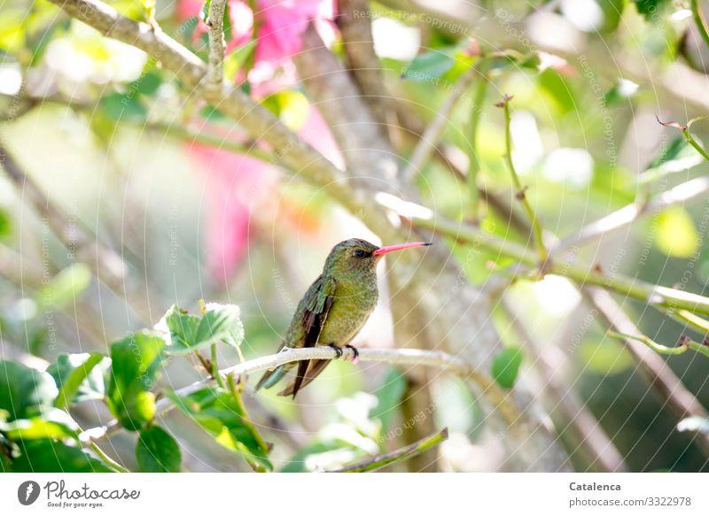 Ein kleiner, grüner Kolibri sitzt auf seinem Hibiskuszweig und hält Wache Natur Flora Fauna Tier Vogel Pflanze Malvengewächse Blatt Zweig Blüten duften blühen