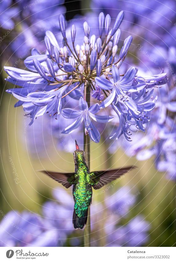 Picaflor Natur Pflanze Tier Sommer Blume Blüte Agapanthus Schmucklilien Amaryllidaceae Wildtier Vogel Kolibris 1 Blühend Duft fliegen Fressen frei schön klein
