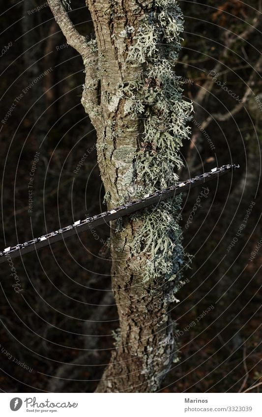 Das Fällen von Bäumen mit einer elektrischen Kettensäge im Wald. Arbeit & Erwerbstätigkeit Industrie Werkzeug Säge Technik & Technologie Mann Erwachsene Natur