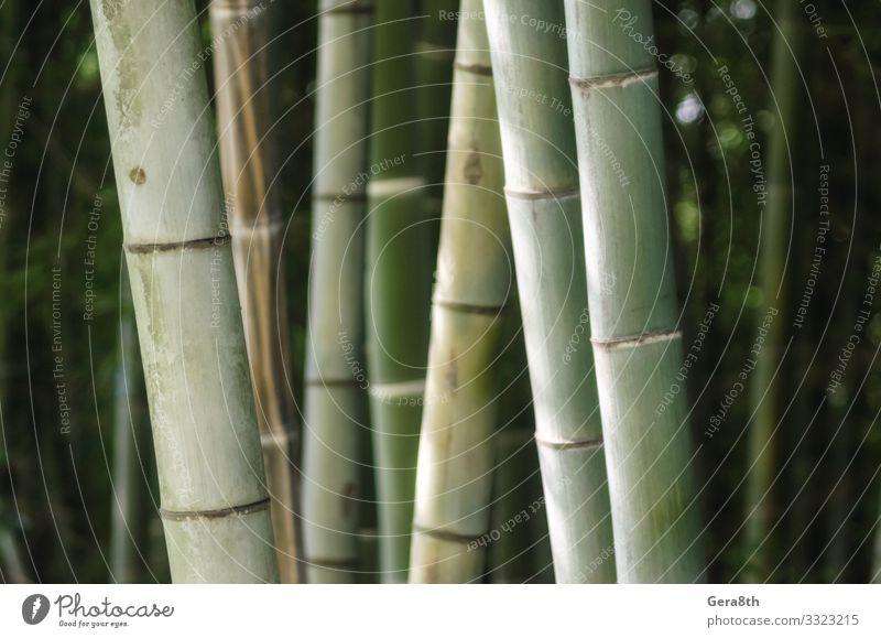 grünes Bambushain-Muster in Nahaufnahme Garten Tapete Gartenarbeit Natur Pflanze Wald Urwald frisch hell natürlich saftig Hintergrund Botanik Hain Ernte